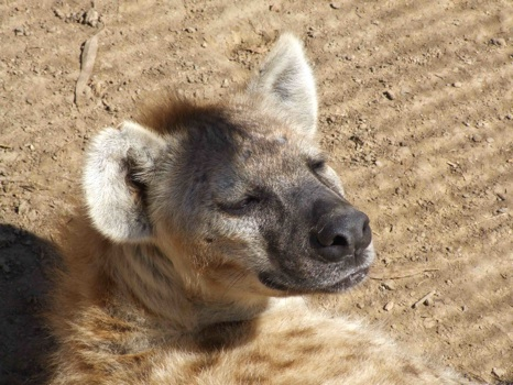 the complex matrilineal social structure of spotted hyenas The complex matrilineal social structure of spotted hyenas  the complex matrilineal social structure of spotted hyenas  social structure, social movement, and .