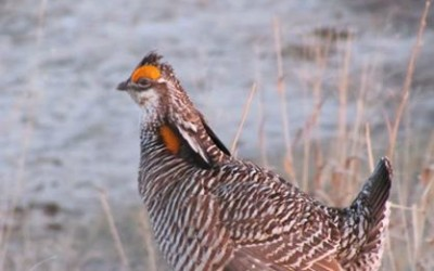 1aAB4 – What does a Greater Prairie-Chicken sound like? It's not your typical cock-a-doodle-doo! – Cara Whalen