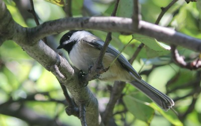 "4aAB2 – ""Seemingly simple songs: Black-capped chickadee song revisited"" –  Allison H. Hahn – Christopher B. Sturdy"