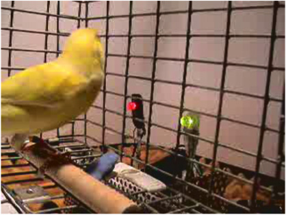 How Canaries Listen to Their Song – Adam R. Fishbein