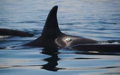 4aAB8- Boat and noise effects on the behavior of killer whales revealed by suction cup tags  – Marla Holt